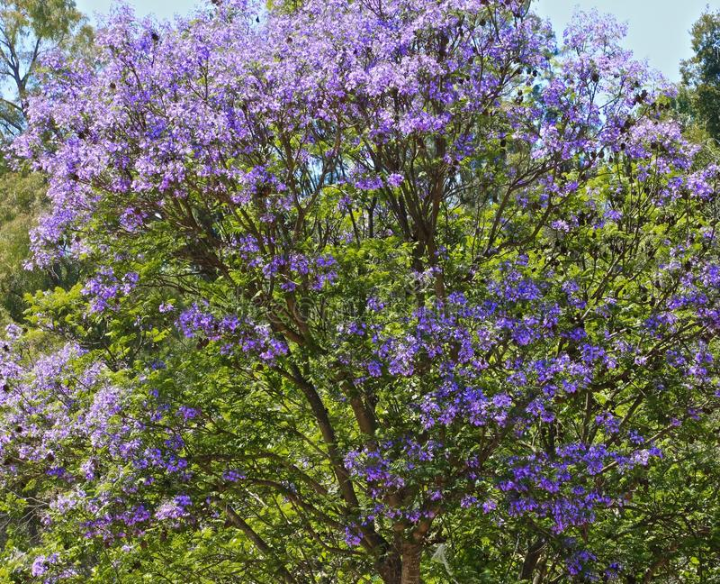jacaranda czworoboka Sydney drzewa uniwersytet zdjęcie stock