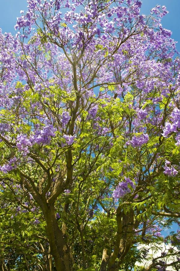 Jacaranda in der Blüte stockfoto