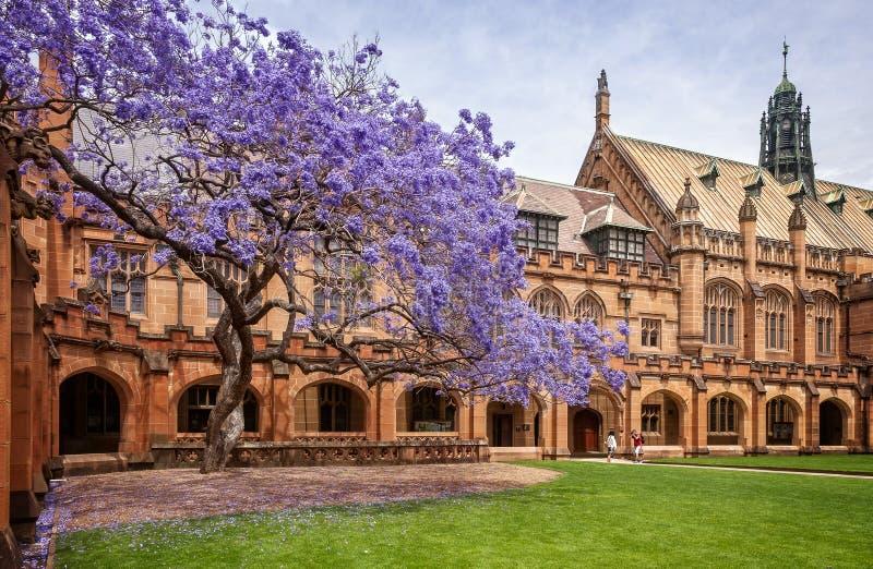 Jacaranda in der Blüte bei Sydney University im Jahre 2015 lizenzfreie stockbilder