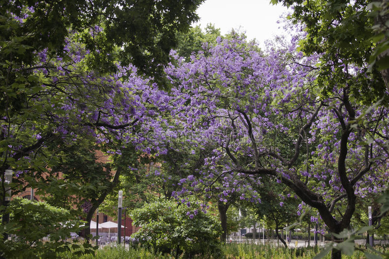 Jacaranda di Lissabon fotografia stock