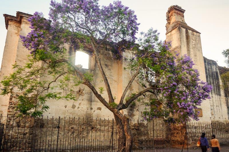 Jacaranda drzewo przed rujnującą fasadą w Antigua, Gwatemala zdjęcie stock