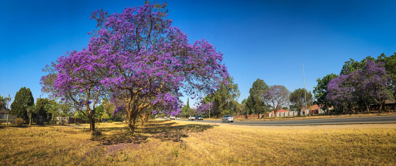 Jacaranda het Bloeien royalty-vrije stock foto