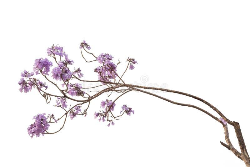 Jacaranda kwiat odizolowywający na białym tle zdjęcie royalty free