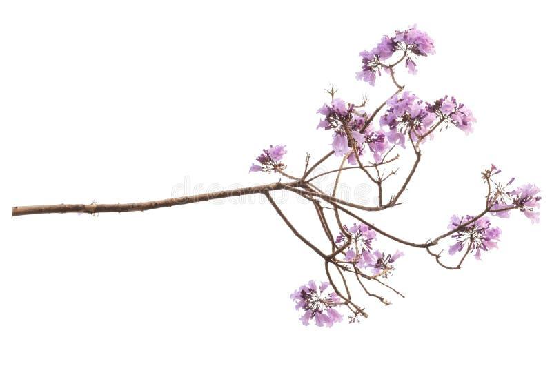 Jacaranda kwiat odizolowywający na białym tle obraz royalty free