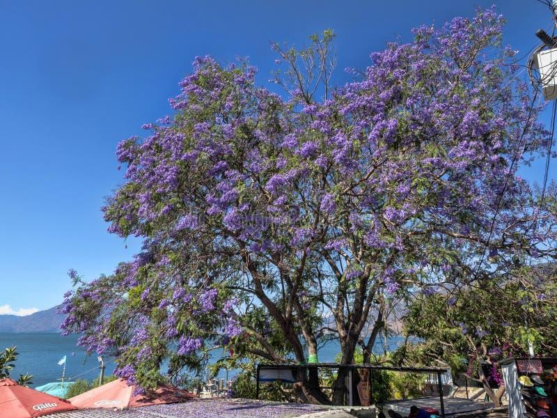 Jacaranda piękny drzewo z purpurowymi kwiatami, Gwatemala zdjęcia royalty free
