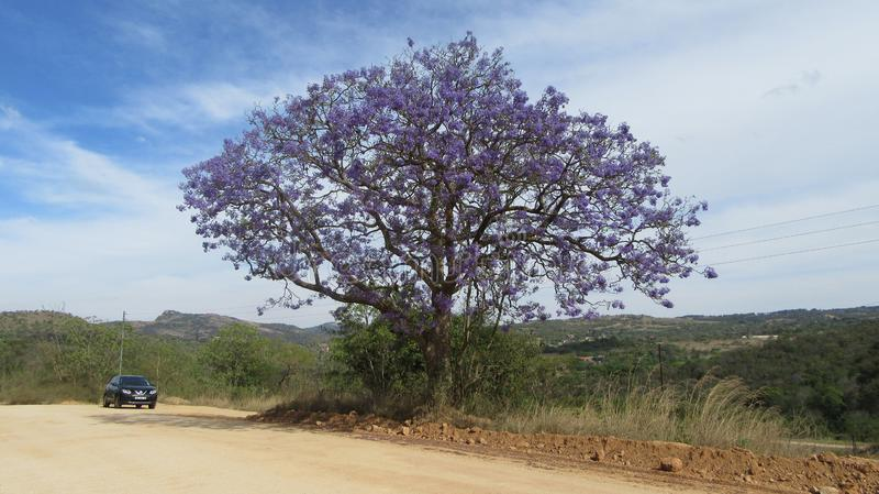 Jacaranda Tree. Farm Road with Jacaranda Tree blooming along its path stock photography