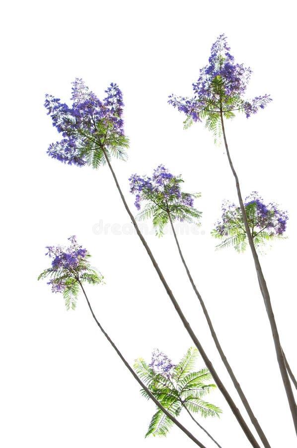 Download Jacaranda tree flowers stock photo. Image of bush, many - 14758006