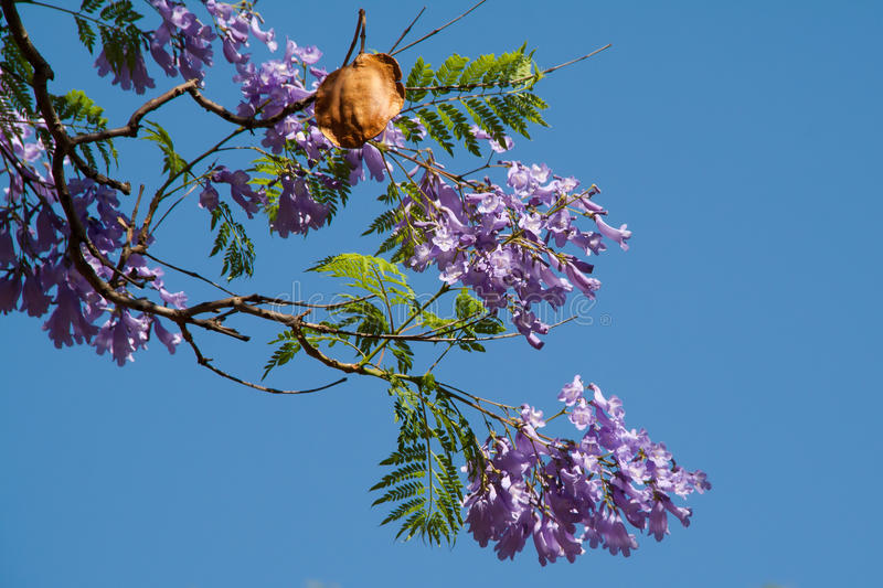 Jacaranda tree flowers and seed pod royalty free stock images
