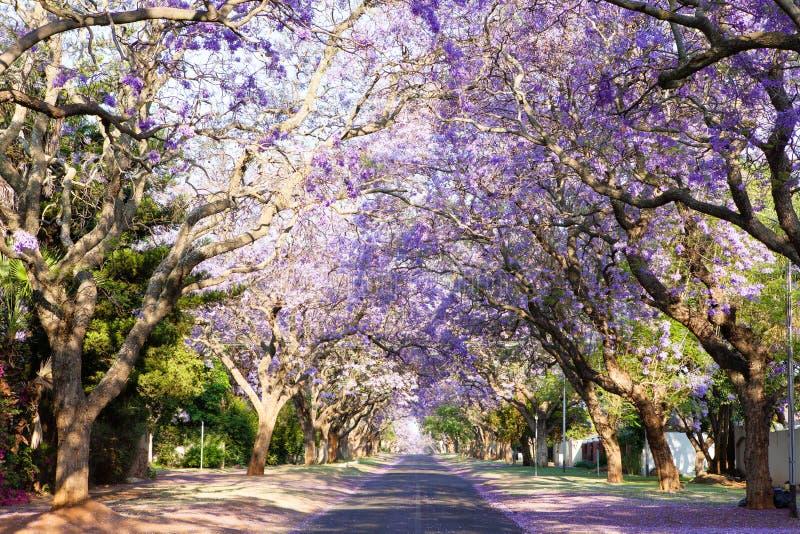 Jacaranda tree-lined straat in de hoofdstad van Zuid-Afrika royalty-vrije stock foto's
