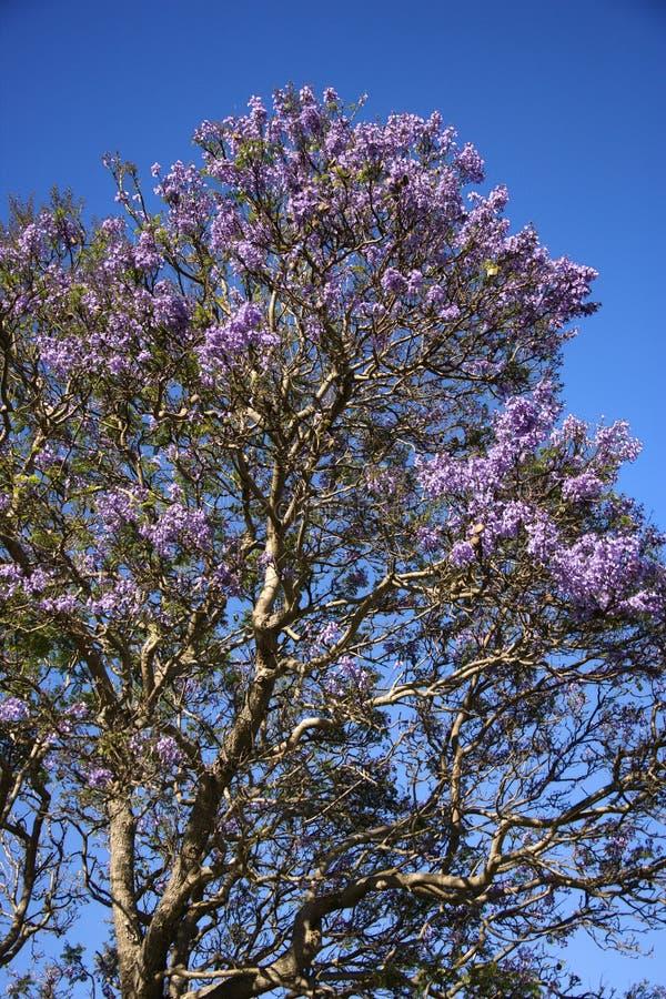 Jacaranda tree in Maui, Hawaii. royalty free stock photo