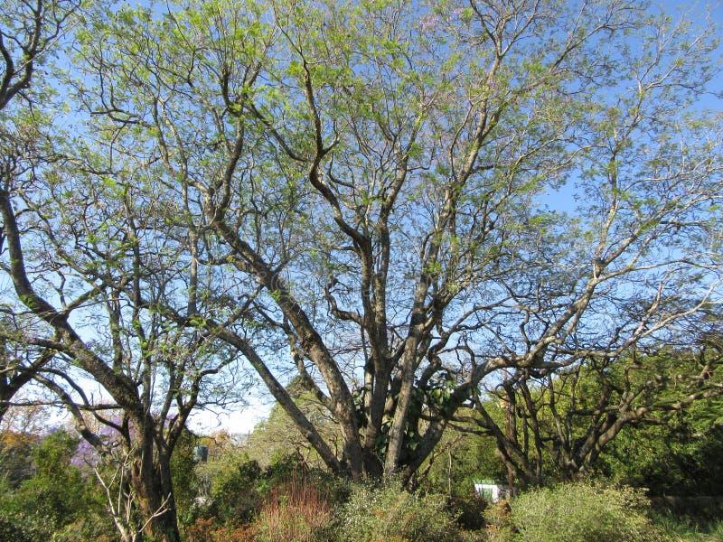 Jacaranda Tree. Jacaranda about to flower in the Lowveld SouthAfrica royalty free stock image