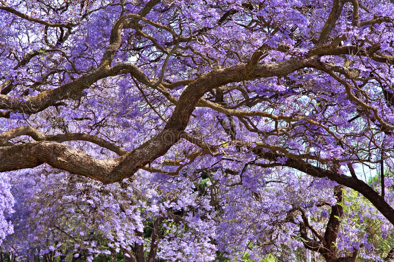 Jacaranda trees stock photo
