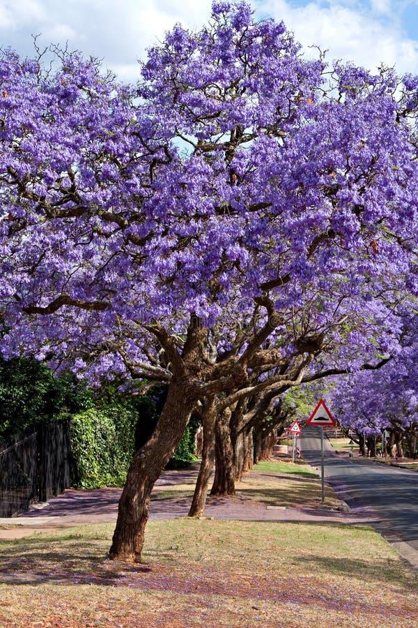 Jacaranda trees stock photos