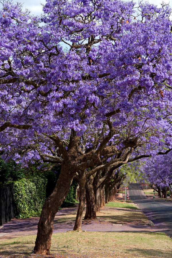 Jacaranda trees royalty free stock image