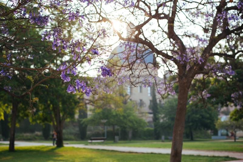 Jacaranda trees blooming in park royalty free stock photography