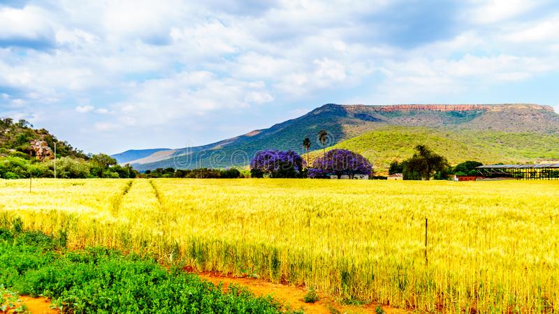 Jacaranda trees at a farm with wheat fields along highway R36 near the town of Orighstad in Limpopo Province. Of northern South Africa stock photography