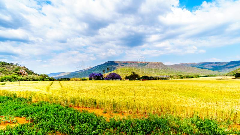 Jacaranda trees at a farm with wheat fields along highway R36 near the town of Orighstad in Limpopo Province. Of northern South Africa royalty free stock photo