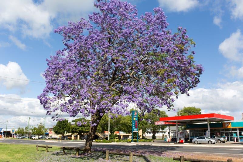 Jacaranda trees season in Australia stock photo