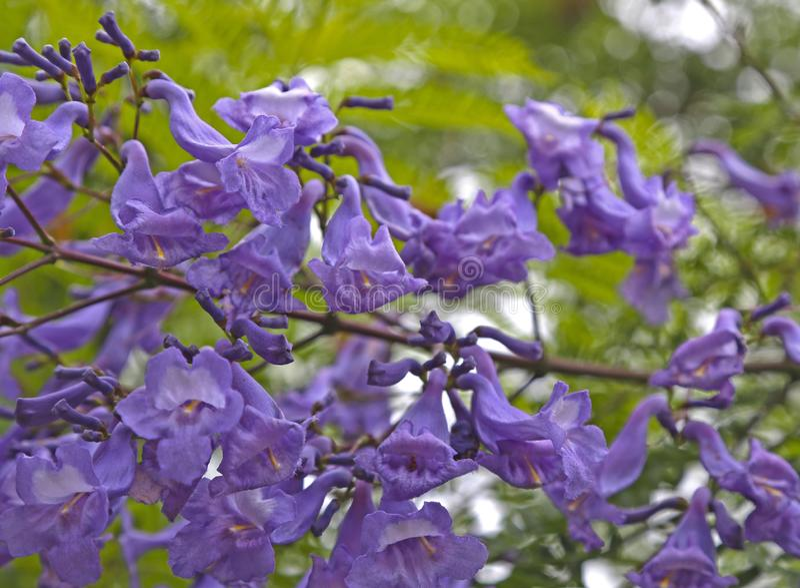 Jacarandabaum blüht purpurrote lange Glocken stockfotos