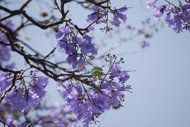 Jacarandabaumblumen mit purpurroten Blumen lizenzfreie stockfotos