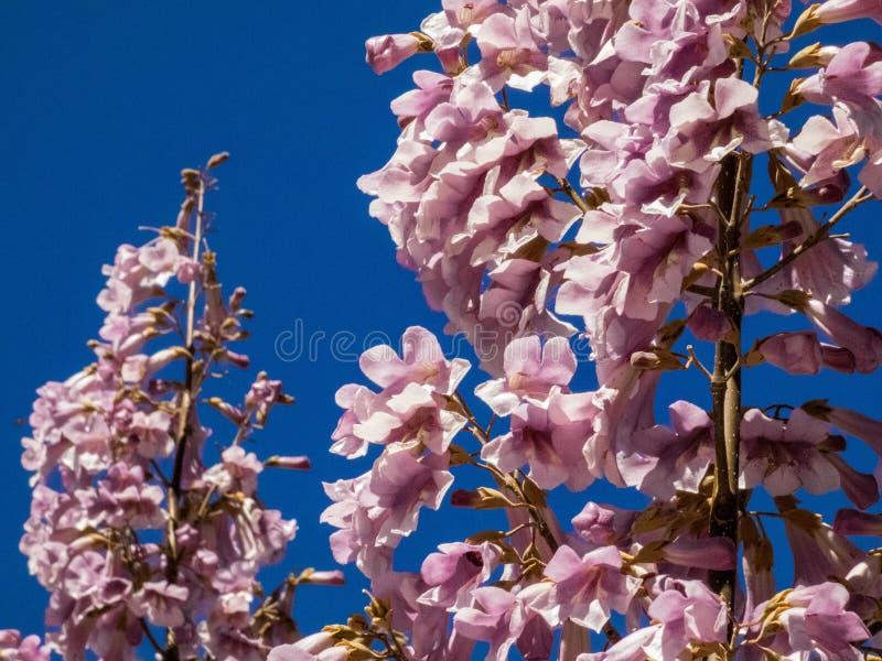 Jacarandabaumblumen in Spanien stockfoto