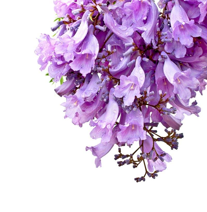 Jacarandablumen getrennt stockbilder