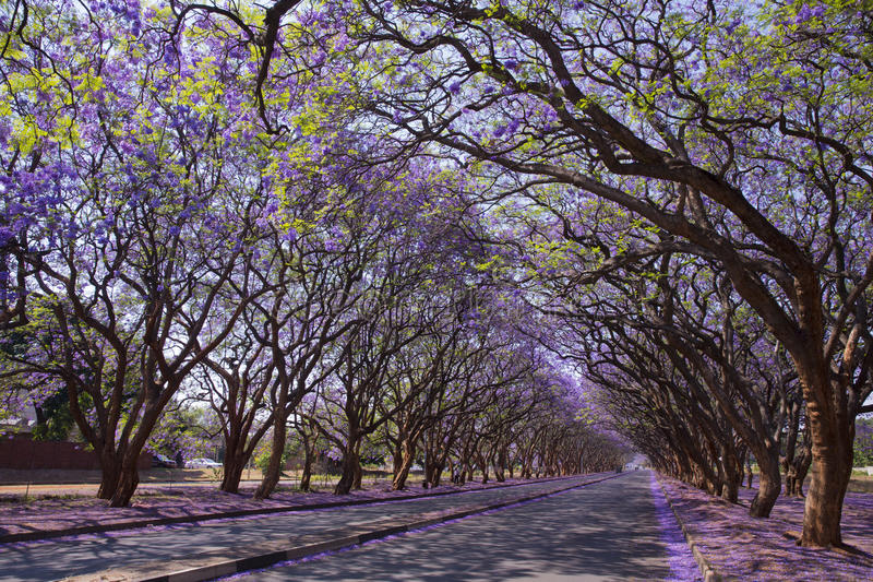 Jacarandabomen in Harare stock fotografie