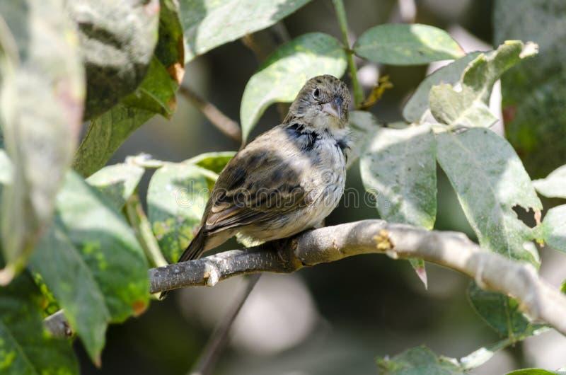 Jacarina, saltapalito & x28 de Volatinia; Bird& x29 de Lima; fotografia de stock