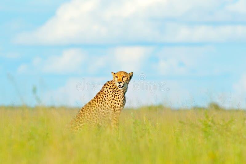 Jachtluipaard, Acinonyx-jubatus, het lopen wilde kat Snelste zoogdier op het land, Botswana, Afrika Jachtluipaard in gras, blauwe stock fotografie