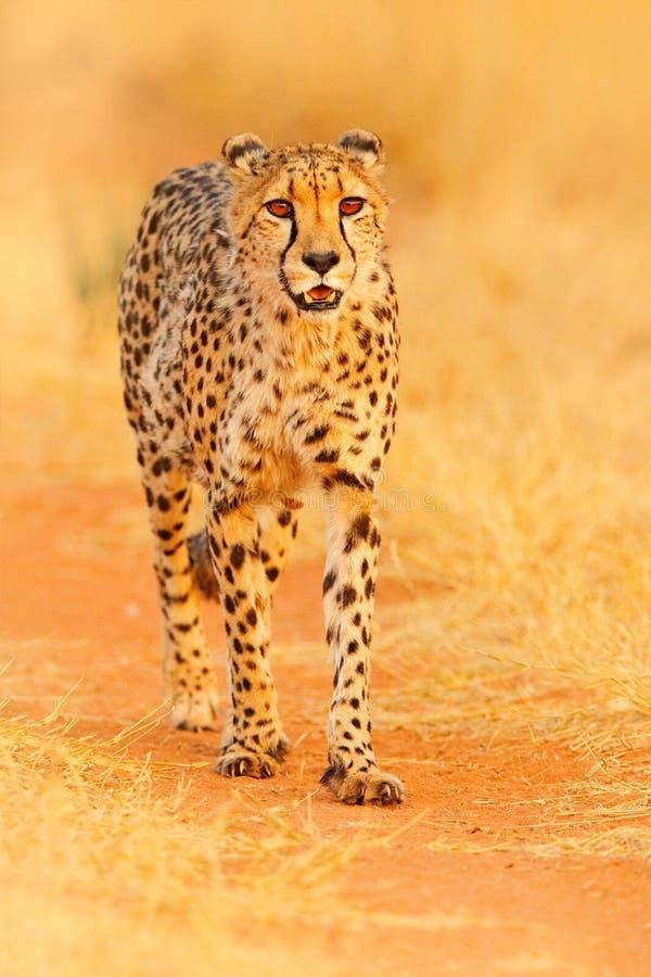 Jachtluipaard, Acinonyx-jubatus, het lopen wilde kat Snelste zoogdier op het land, Botswana, Afrika Jachtluipaard op grintweg, fa royalty-vrije stock afbeelding