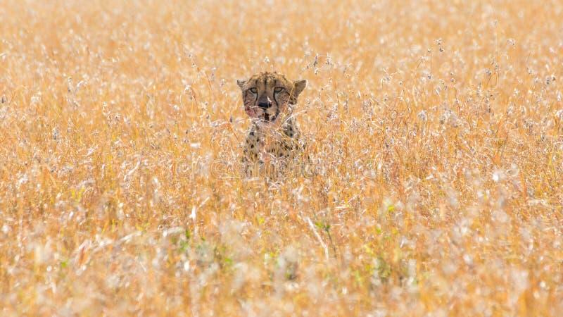 Jachtluipaard in Afrikaanse savanne, in Masai Mara, Kenia royalty-vrije stock foto