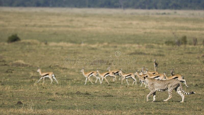 Jachtluipaard de jacht op Maasai mara, Kenia stock foto