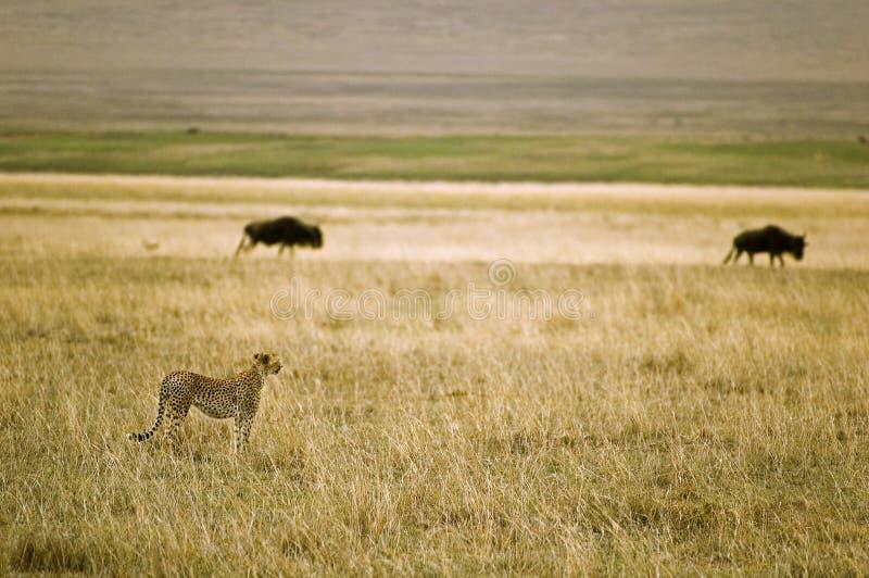 Jachtluipaard in de savanne stock afbeeldingen