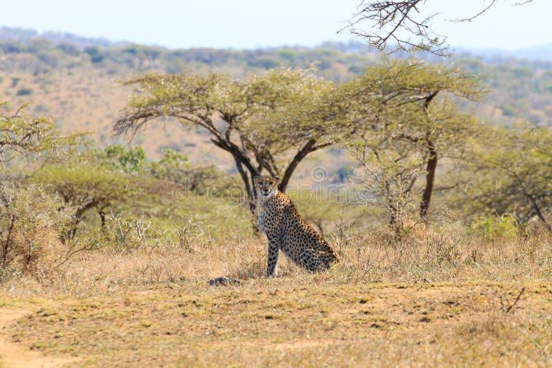 Jachtluipaard dichte omhooggaand van Zuid-Afrika royalty-vrije stock fotografie