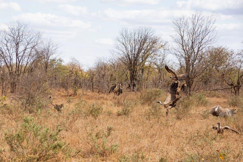 Jachtluipaard die Gieren achtervolgt royalty-vrije stock foto