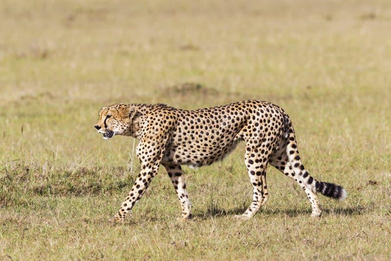 Jachtluipaard die in het gras lopen royalty-vrije stock fotografie