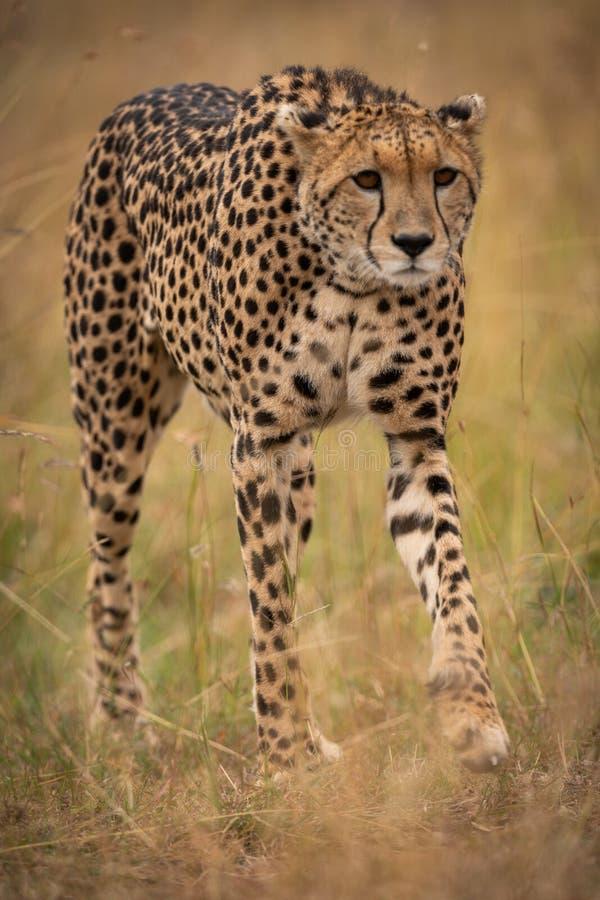 Jachtluipaard die in lang gras op savanne rondsnuffelen royalty-vrije stock fotografie
