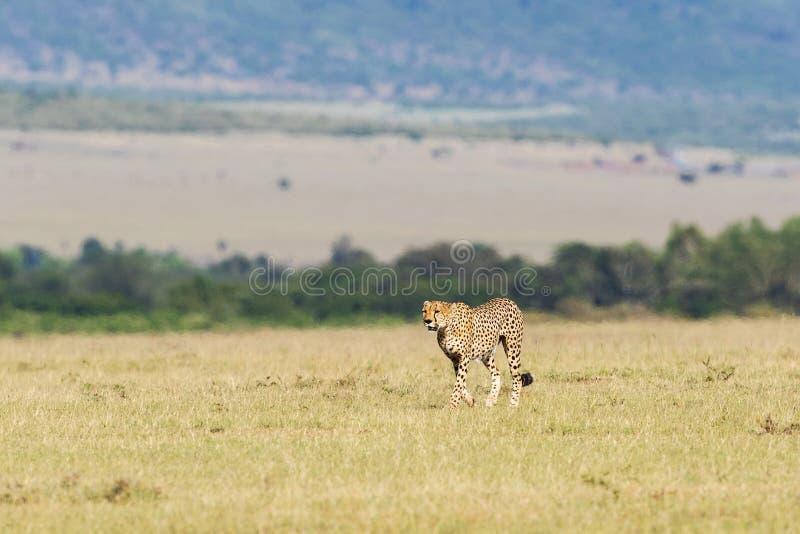 Jachtluipaard die op de savanne lopen royalty-vrije stock foto's