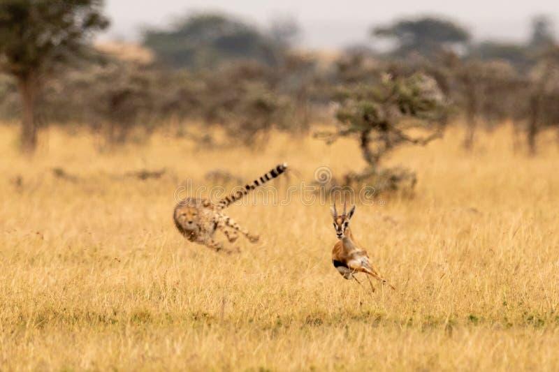 Jachtluipaard die Thomson-gazelle onder fluitende doornen achtervolgen royalty-vrije stock fotografie