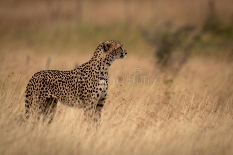 Jachtluipaard die zich in gras met omhoog hoofd bevinden royalty-vrije stock foto's