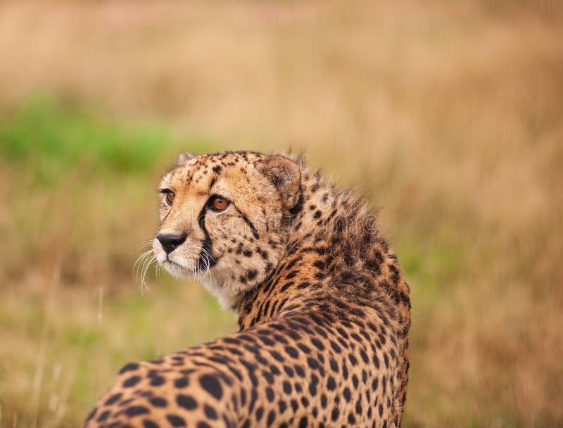 Jachtluipaard die zich in lang gras bevinden stock foto's