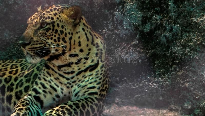 Jachtluipaard in dierentuin stock foto