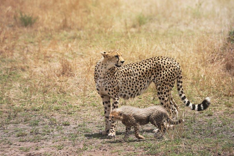 Jachtluipaard en haar weinig welp in Masai Mara, Kenia, Afrika royalty-vrije stock afbeeldingen
