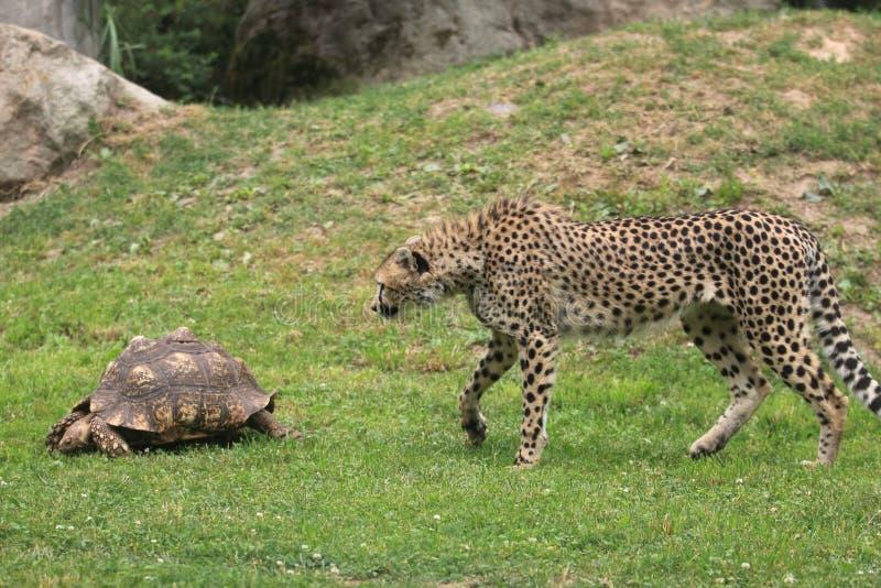 Jachtluipaard en schildpad stock afbeelding