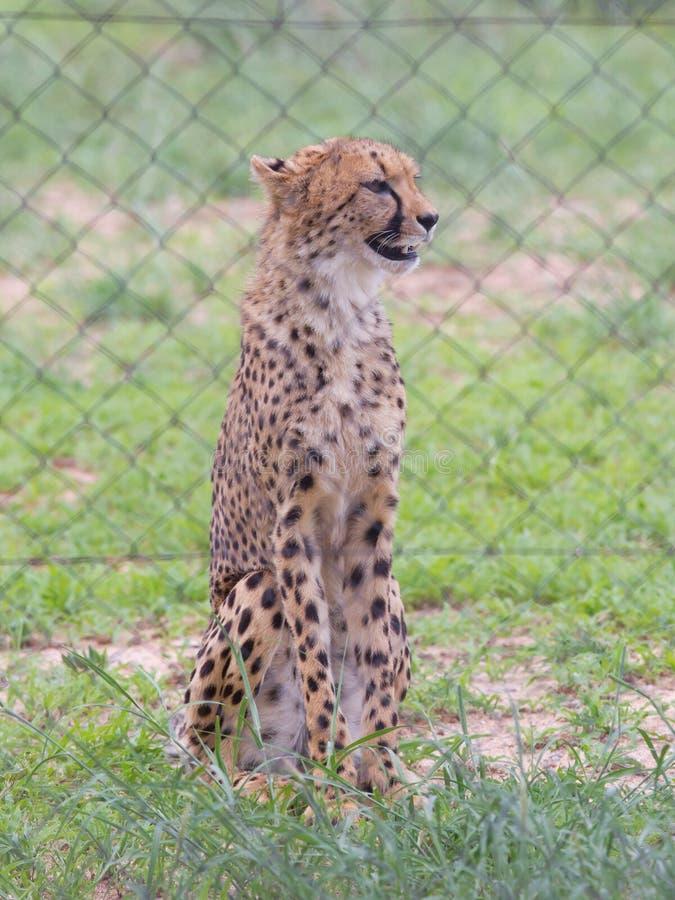 Jachtluipaard in gevangenschap royalty-vrije stock foto's