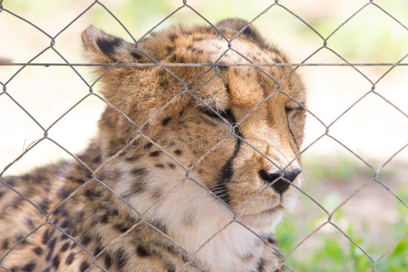 Jachtluipaard in gevangenschap stock foto's