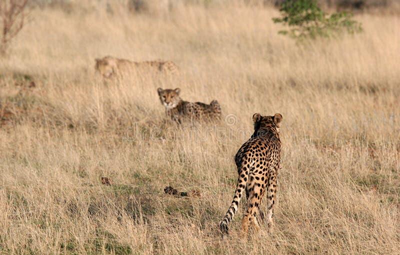 Jachtluipaard in gras stock foto