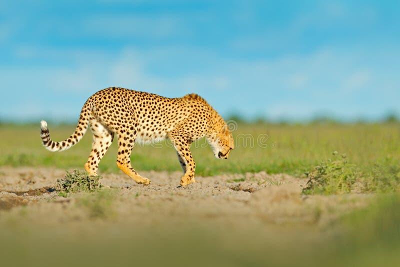 Jachtluipaard in gras, blauwe hemel met wolken Bevlekte wilde kat in aardhabitat Jachtluipaard, Acinonyx-jubatus, het lopen wilde royalty-vrije stock afbeeldingen
