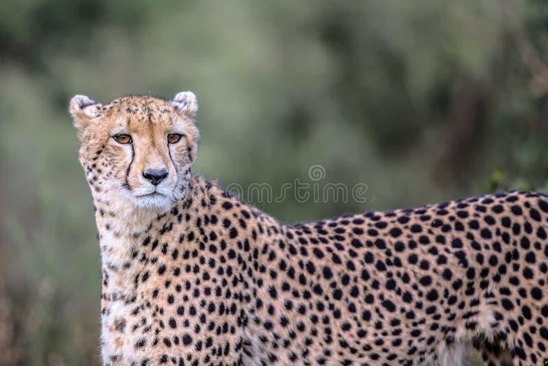 Jachtluipaard in het Nationale Park van Kruger royalty-vrije stock fotografie