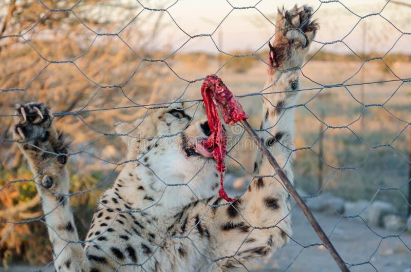 Jachtluipaard het voeden met rood vlees op stok door omheining van bijlage op spellandbouwbedrijf in Namibië, Zuid-Afrika stock afbeeldingen